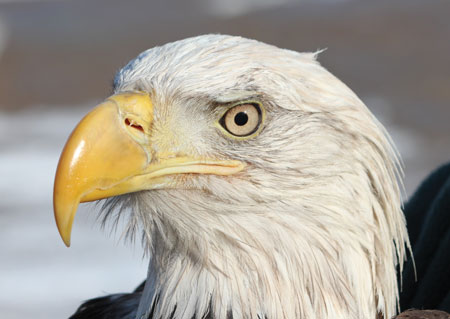 This bald eagle is one of many site visitors.